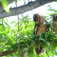 2羽が並んでくれたよ、トラフズクの幼鳥。