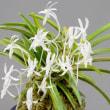 富貴蘭の花 8