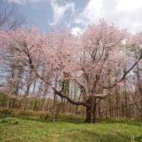 北新得の一本桜 満開です