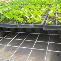 葉物1作目、小松菜など播種