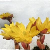 雪の中のフクジュソウも綺麗 (*^-^*)