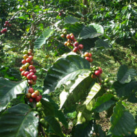 コーヒー豆の摘果に行ってきた