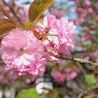 【京都府立植物園】第6回サトザクラ展開催のお知らせ(2017年4月14日~17日)