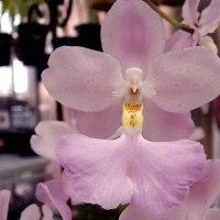 素敵な花です!Cuitlauzina.pendula
