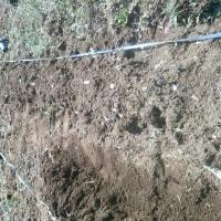 ジャガイモ植えつけと剪定作業