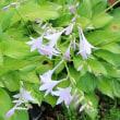 今一つの種類「小葉擬宝珠」咲いています。