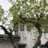 21日の柿の葉