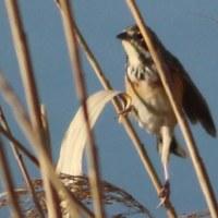 手賀沼  ホオジロ科の野鳥 ~ホオアカ(頬赤)~ その8