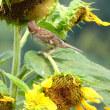『向日葵畑』 雀