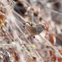 ベニマシコ♀, Long-tailed Rosefinch
