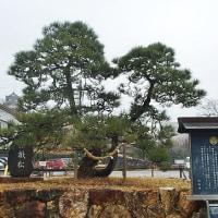 憔悴した家康公を癒す 浜松城に根差す「鎧掛松」