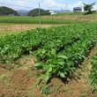 大豆の土寄せ
