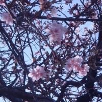 那智駅の緋寒桜