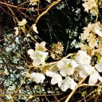 和風カフェ「鎌倉茶房」桜が満開!福島江の桜並木も今週ようやく開花か?新潟県長岡市