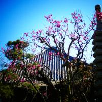 『梅たより』 善福寺