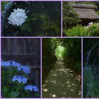紫陽花の季節~鎌倉