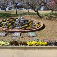 『カンヒザクラ』 と 『ビオラ』 がきれいに咲いていた。