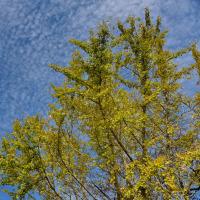 秋空に細かい雲と黄色のイチョウが映えました。 (Photo No.13849)