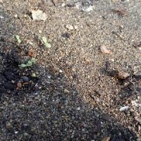 17年03月02日 レタス・ブロッコリーの発芽確認