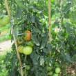 人気のおすすめ野菜《稲敷野菜ランド最新情報》元気なスイカ・美味しいトマト・健康にゴーヤ!