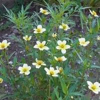 季節の花「ウィンターコスモス」
