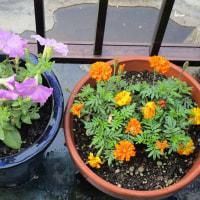 ① アジサイ : 庭の花
