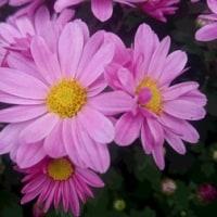 菊の鉢植え