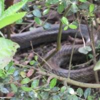 巨大蛇出現