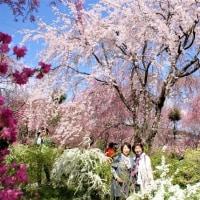 京都、原谷苑の桜(TT)