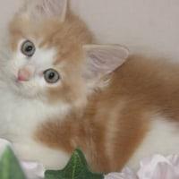 メインクーン/激安ペット仙台市/名取市/子猫展示・販売中