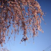 2017年4月13日 桜満開少し前
