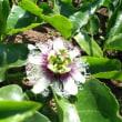 パッションフルーツ、一月ぶりに開花