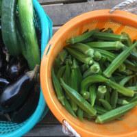 今日もオクラとナス、キュウリを収穫