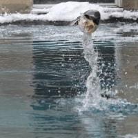 ジェンツーのペンギンジャンプ!