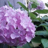 紫陽花に・・