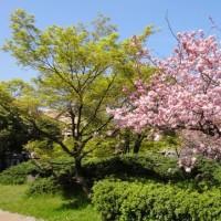 2017年4月16日八重桜満開です。