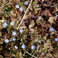 春は 蕗の薹 小さな花 名はオオイヌノ・・・・