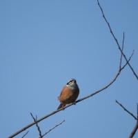 野鳥方言名 ホオジロ