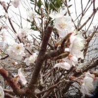 庭の桜が咲きました