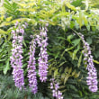 夏に咲く藤の花とオニユリ