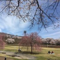 栃木県矢板市~長峰公園の桜2017~