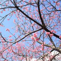 本茶峠と崎原(名瀬)の寒緋桜