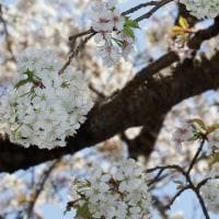 エゾカスミザクラ (蝦夷霞桜)