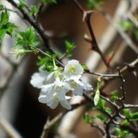 リョクガクサクラ(緑萼桜)