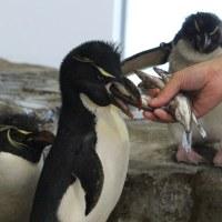 ペンギンの食事メニュー・1