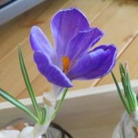 クロッカスが咲きました♪