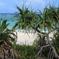去年の記事 大浜のアダンイトバショウグアバの花と実