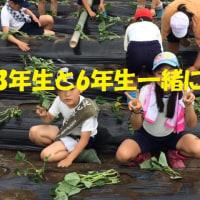 サツマイモの苗植え 房南学園の中学生と!