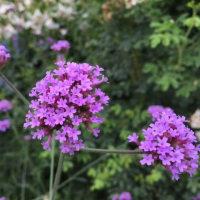 花、花、オニオンスキンペーパーの様な葉 Flowers,flowers and leaves thin as onion skin paper
