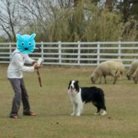 牧羊犬に生まれたからには。